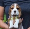 BASSET HOUND Puppies For Sale Asia Pets